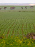 Crop. A crop growing quiet nicely in the summer weather of Australia Royalty Free Stock Images