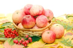 Crop of apples Stock Image