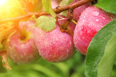 Crop of apples Royalty Free Stock Photos