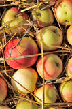 Crop of Apples with Straw Stock Image