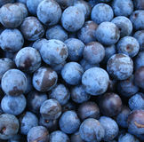 Crop of autumn sloes. Blackthorn Stock Images