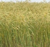 Crop of Barley straight and topped with golden heads Stock Photo