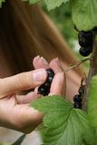 Crop of a black currant. Bush with fruits of a black currant Stock Photography