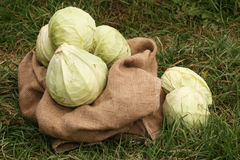 Crop of cabbage Stock Images
