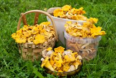 Crop of chanterelles Stock Images