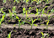 Crop Of Corn Seedlings Royalty Free Stock Photo