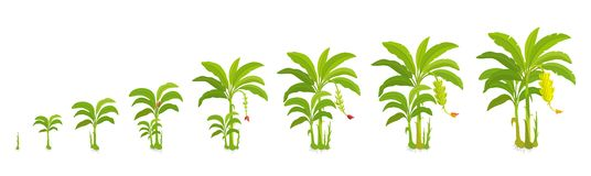 Free Crop Cycle For Banana Tree. Crop Stages Bananas Palm. Vector Illustration Growing Plants. Harvest Growth Biology. Musa Royalty Free Stock Photography - 142138337