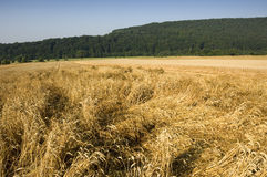 Crop damage. Wheat field with beaten down stems by storm damage royalty free stock image