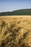 Crop damage. Wheat field with beaten down stems by storm damage stock image