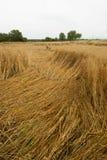 Crop damage in the cornfield, Germany. Crop damage in the cornfield after the storm Stock Photography