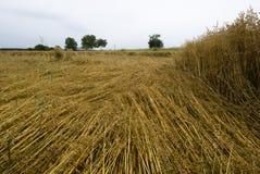 Crop damage in the cornfield, Germany. Crop damage in the cornfield after the storm Stock Image