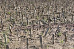 Crop devastation after flooding Royalty Free Stock Photography