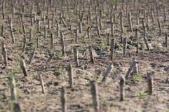 Crop devastation after flooding. Detail of crop devastation after flooding Royalty Free Stock Photography