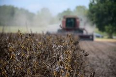 A crop of dried, ripened soybeans about to be cut Royalty Free Stock Photography