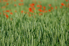 Crop Ears and poppies. Stock Photo