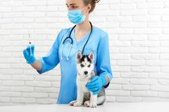 Veterinarian in hospital doing injection by little husky dog. Crop of female veterinarian in hospital holding by hands, caring, doing injection by little husky Royalty Free Stock Photo