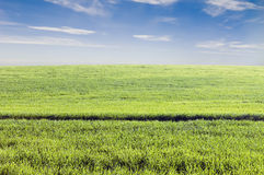 Crop field. Green crop field under a clear afternoon sky Royalty Free Stock Photography