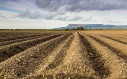 Crop Field. A field from an arable farm that has been ploughed and prepared for a crop. The field has been put into drills and will be probably used for potatoes Stock Photography