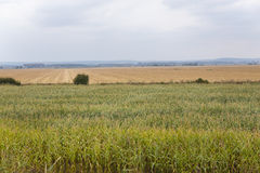 Crop field. Corn field at the edge of a road Stock Photo