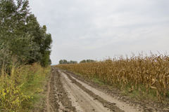Crop field. Corn field at the edge of a road Stock Photography