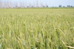 Crop, Field, Ecosystem, Grassland stock image