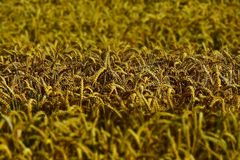 Crop, Field, Grass, Grass Family stock image