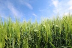 Crop, Field, Grass, Grass Family royalty free stock photo