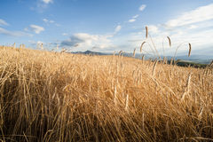 Crop Field. Before harvest in summer royalty free stock photography