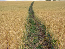 Crop in a field with path Royalty Free Stock Photos