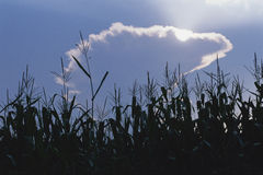 Crop field silhouetted Stock Image