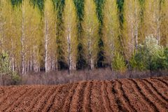 Crop field at spring with poplar forest stock image