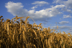 Crop field on a summer day Royalty Free Stock Photo