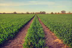 Crop field with tracks to follow. Green young crop field with tracks to follow - Tractor tracks in wheat crop in April. Image showing the horizon line Royalty Free Stock Photos