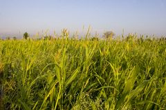 Crop Fields. Lush Green crop fields with blue sky Royalty Free Stock Photo