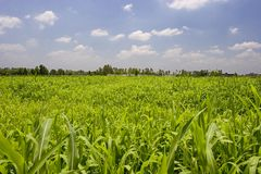 Crop Fields. Lush Green crop fields with blue sky Stock Photo
