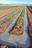 Crop Flood Irrigation. A close-up view of crop rows being flood irrigated royalty free stock image