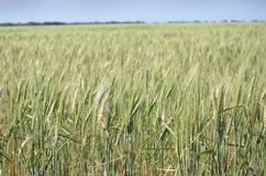 Crop, Food Grain, Field, Triticale royalty free stock images