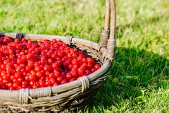 Crop of fresh red currant in wicker basket Stock Photos