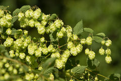 Crop of fresh ripe hop Stock Image