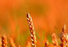 Crop getting ready to harvest stock photography