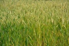 Crop, Grass, Food Grain, Grass Family stock photos