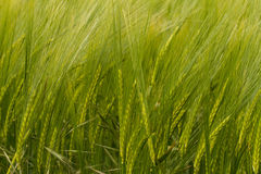 A crop of green Barley. A crop field of green wheat barley corn ears heads stock image