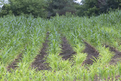 Crop Growing in Rows Royalty Free Stock Photo