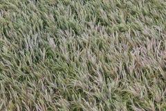 Crop growing rye wheat grain seed head Stock Photo