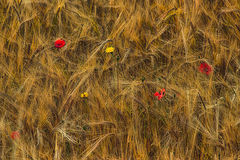 Crop Harvest Royalty Free Stock Photo