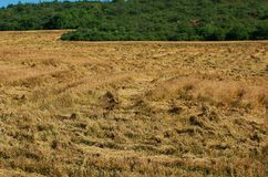 Crop insurance. Destroyed wheat. Insure crops. Damage from hurricane crop. Destroyed harvests of wheat Stock Photography