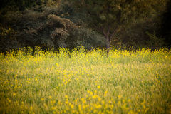 Crop of mustard seed in india Royalty Free Stock Photography