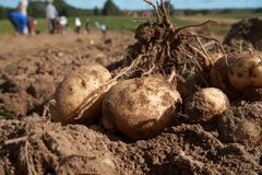 Crop of new freshly dug potatoes on the ground royalty free stock photos