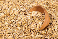 Crop of oats. The background for your design Royalty Free Stock Image