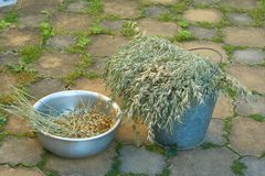 Crop of oats. Harvested by small farm in Russia Stock Photography